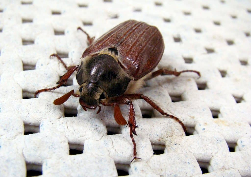 May Bug (Cockchafer) is not a cockroach